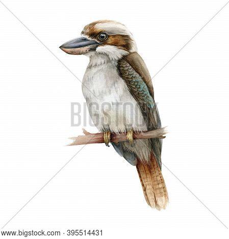 Kookaburra Bird Watercolor Illustration. Australia Native Bird Hand Drawn Realistic Illustration. Si