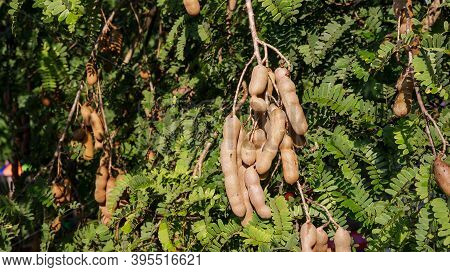 Tamarind Fruit Hangs On A Tamarind Tree In An Orchard.