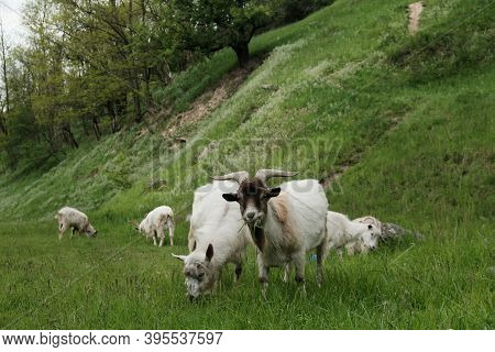 Sweet Goats With Funny Beards On Background Of Other Goats Grazing In Countryside. Cute White Goats
