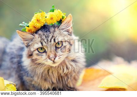 Portrait Of The Siberian Cat In The Autumn Garden. The Cat Is Crowned With A Floral Wreath And Remai