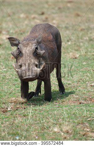 Central African Warthog (phacochoerus Africanus Massaicus) Feeding In The African Grassland, Uganda.