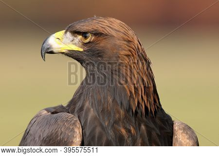 The Golden Eagle (aquila Chrysaetos), Portrait. Portrait Of A Huge Bird Of Prey With A Green Backgro