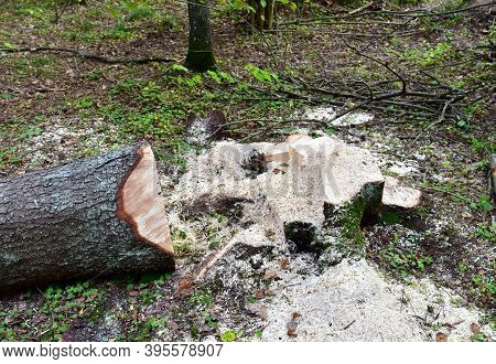 Felled Spruces Trees In Forest. Deforestation And Illegal Logging, International Trade In Illegal Ti