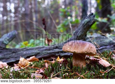 White Mushroom In Forest In Autumn. Big Boletus Grows In The Wildlife Against The Background Of Gree
