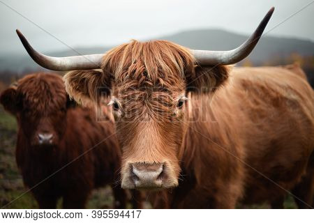 Close Up Portrait Of Beautiful Cows On The Pasture In Moody And Dark Weather. Brown Cows On The Gree