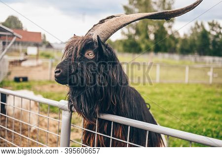 Funny Close Up Photo Of Black Hairy Goat In Zoo. The Valais Blackneck Is A Breed Of Domestic Goat Fr