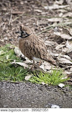 The Inland Dotterel Is Looking For Food Amongst The Leaves