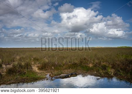 Alligator Sits At The Edge Of Pool In Wide Grassland Of Everglades National Park