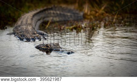 Alligator Keeps Eyes Above Dark Water As It Enters Pond In Everglades National Park