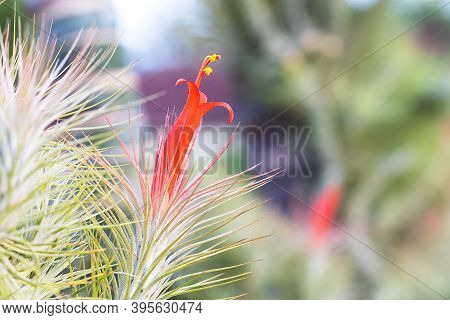 Orange Blooming Of Air Plant, Tillandsia Funckiana, On Blurred Nature Background