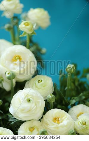 Ranunculus Flower.buttercup Flowers.floral Background.delicate White Spring Flowers On A Bright Blue