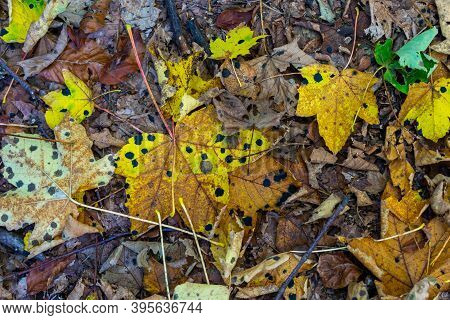 Colourful Fall Leaves With Black Acid Burn Points Or Acid Burn Stains.