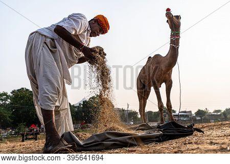 November 2019 Pushkar,rajasthan,india. A Rajasthani Old Man Preparing Food For Its Camel At Pushkar