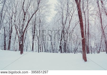 Winter landscape, winter forest trees in cloudy weather, winter park landscape. Winter snowy park, winter trees under frost and snow