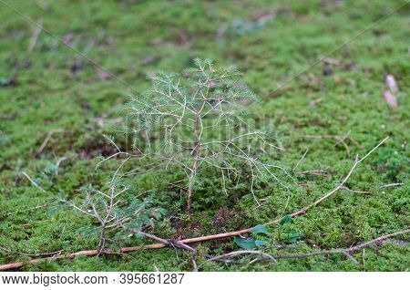 Close-up Of A Small Spruce Tree Growing On Moss In A Forest