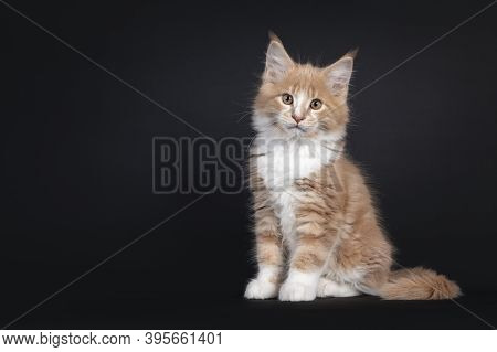 Majestic Creme White Maine Coon Cat Kitten, Sitting Side Ways. Looking To Lens. Isolated On Black Ba
