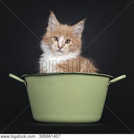 Majestic Creme White Maine Coon Cat Kitten, Sitting In Green Washing Tub. Looking To Camera. Isolate