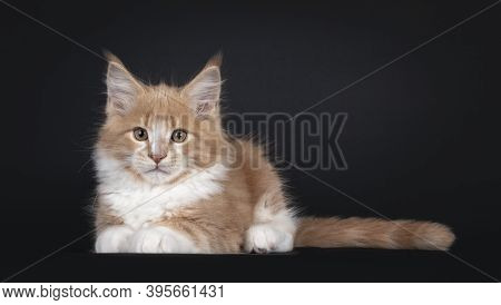 Majestic Creme White Maine Coon Cat Kitten, Laying Down Facing Front. Looking To Camera. Isolated On