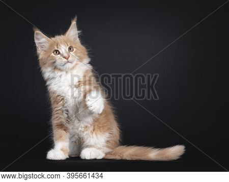 Majestic Creme White Maine Coon Cat Kitten, Sitting Side Ways. Looking Up With One Paw Playful In Ai