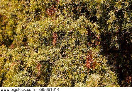 Close-up Of Needles And Ripening Berries At A Juniper Bush