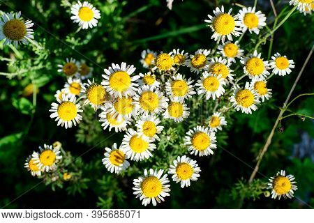 Many Fresh Vivid Yellow And White Flowers Of Chamomile Or Camomile Plant In A Herbs Garden In A Sunn