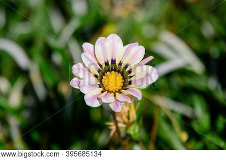 Top View Of One Vivid Yellow And White Gazania Flower And Blurred Green Leaves, In A Garden In A Sun