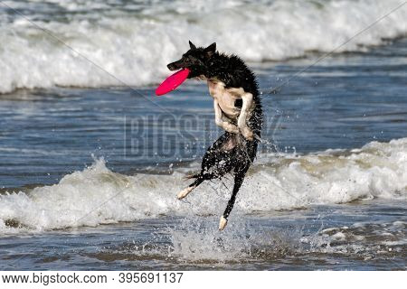 Athletic Border Collie Dog Leaping From Ocean Water To Catch A Flying Frisbee Out Of The Air With A