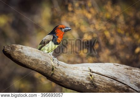 Black Collared Barbet Standing On A Log With Fall Colors Background In Kruger National Park, South A
