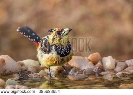 Crested Barbet Standing At Waterhole In Kruger National Park, South Africa ; Specie Trachyphonus Vai