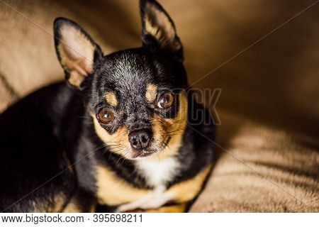 Dog. Smooth-haired Chihuahua Dog Lying On The Warm Plaid. Chihuahua On A Brown Plaid