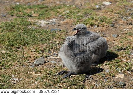 Two Kelp Gull Chicks On Magdalena Island, Chile.