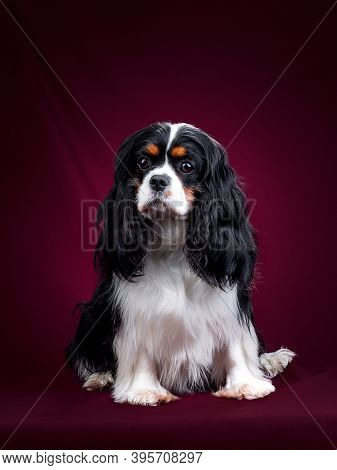 Beautiful Dog Cavalier King Charles Spaniel On A Red Background