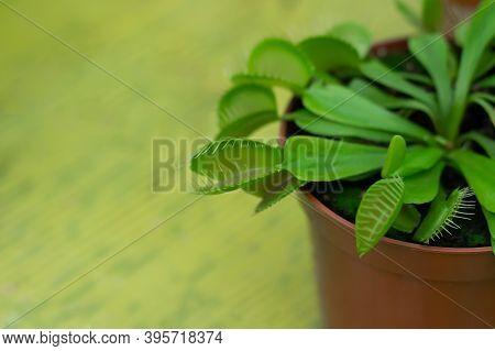 Potted Venus Flytrap (dionaea Muscipula) Carnivorous Plant Closeup