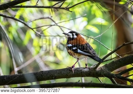 Chestnut-backed thrush, Geokichla dohertyi, perched on a branch.Indigenous to Lombok, Timor and  Indonesia. Captive breeding programs are now underway to ensure the survival of this threatened species
