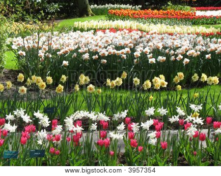 Tulips And Daffodils In Green Grass