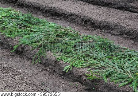 Preparation For Winter, Protection From Frost Of Vegetable Crops In The Garden. The Bed Is Covered W