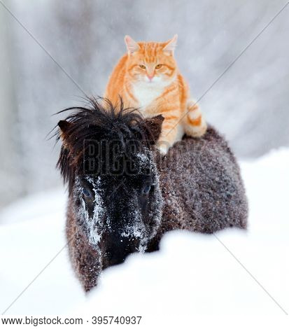 Red-headed cat sitting on horseback in wintertime. Big cat and black small horse walking together in the snow