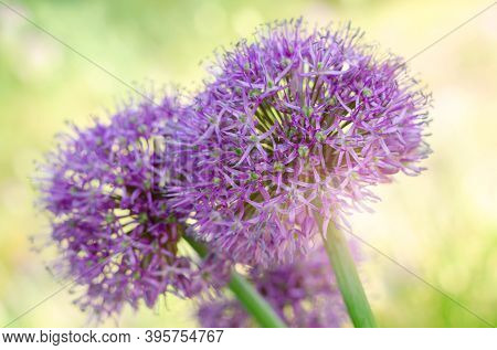 Purple Allium Lucy Ball Flowers Field. Spring Garden Design With Perennial Plants.