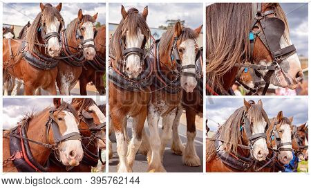 Collage Of Draft Horses In Harness Pulling A Wagon In A Street Parade