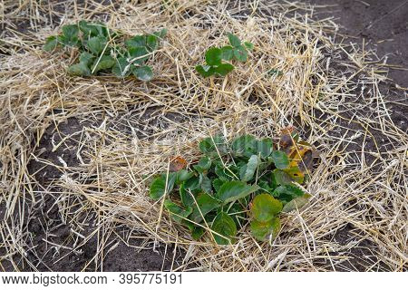 Straw Shelter For Strawberry Plants In The Garden In Winter. Environmentally Friendly Production Of