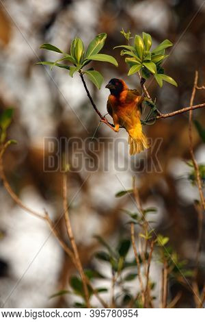 The Village Weaver (ploceus Cucullatus), Also Known As The Spotted-backed Weaver Or Black-headed Wea