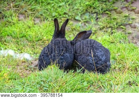 Two Black Rabbits Are Sitting Backview On The Grass