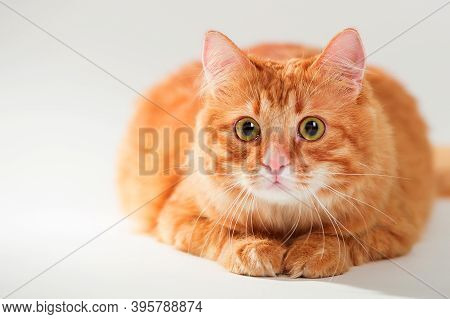 Ginger Cat Isolated On White Background. Portrait Of Cute Cat Lying. Fluffy Red Cat With Big Eyes Is