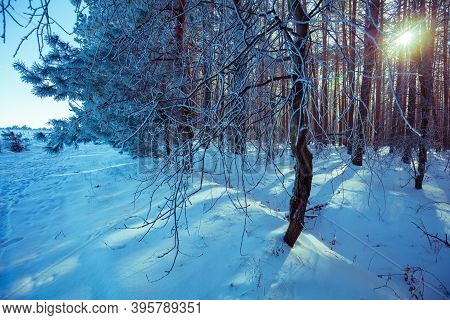 Snowy Forest. Pine Branches Covered With Rime. Natural Winter Background. Winter Nature. Christmas B