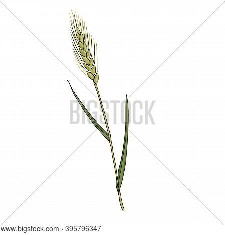 Vector Drawing Wheatgrass, Triticum Aestivum, Hand Drawn Illustration Of Medicinal Plant