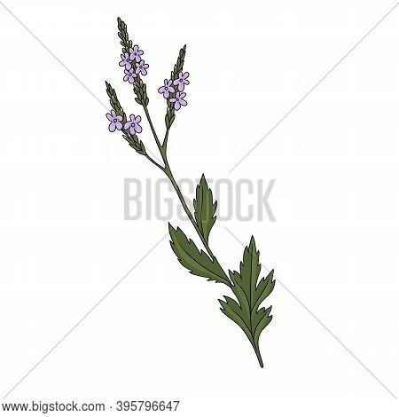 Vector Drawing Verbena, Verbena Officinalis, Hand Drawn Illustration Of Medicinal Plant