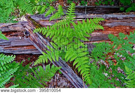 Fern Pattern - A Springtime Nature Scene In The Woods Along Fr400 - West Of Camp Sherman, Or