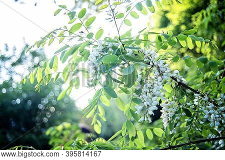 White Flowers Tree Acacia. Blooming Clusters Of Acacia. Honey Spring Plant. Branches Of Black Locust