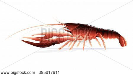 Realistic Red Swamp Crayfish Isolated Illustration, One Big Freshwater North American Crayfish On Si
