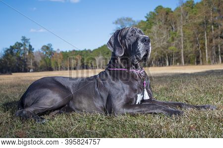 Great Dane Purebred Laying In A Fall Field